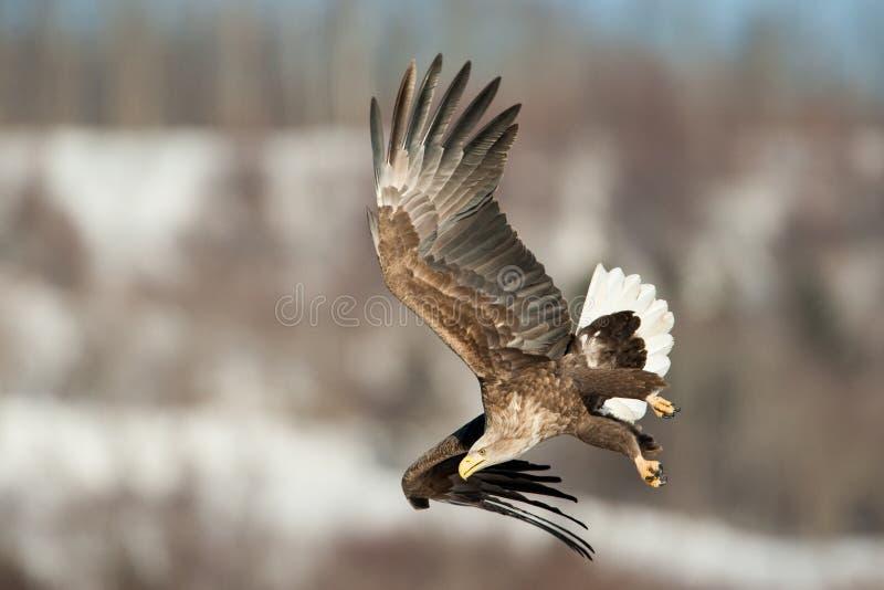 Aquila di mare Bianco-Munita fotografie stock libere da diritti