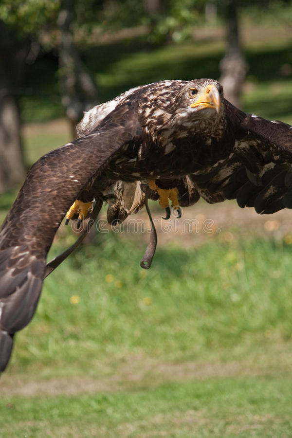 Aquila di mare di volo fotografia stock libera da diritti
