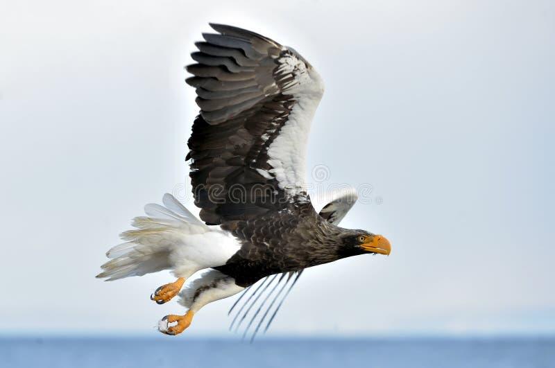 Aquila di mare salente del ` s di Steller Priorità bassa del cielo blu fotografia stock