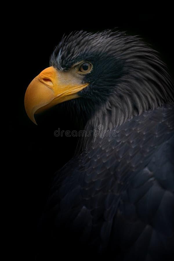 Aquila di mare di Steller, uccello, nero immagine stock
