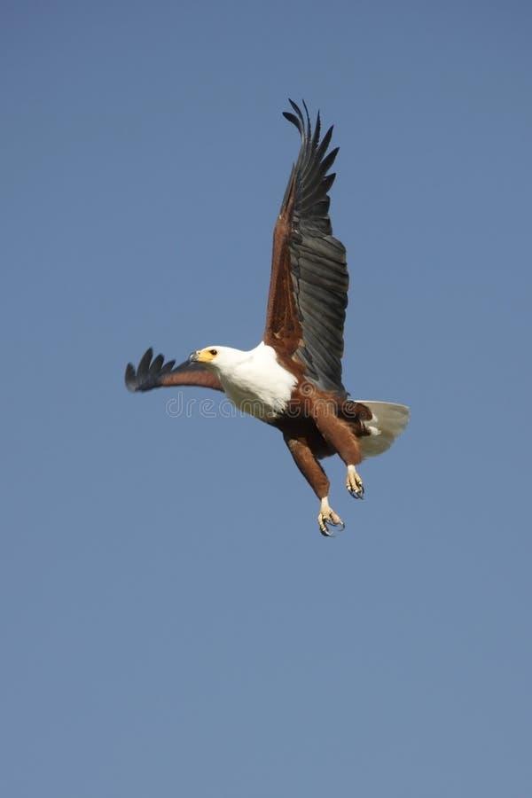 Aquila di pesci africana - Botswana immagine stock libera da diritti