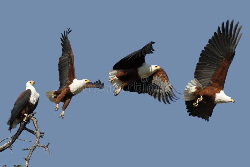 Aquila di pesci africana - Botswana immagini stock