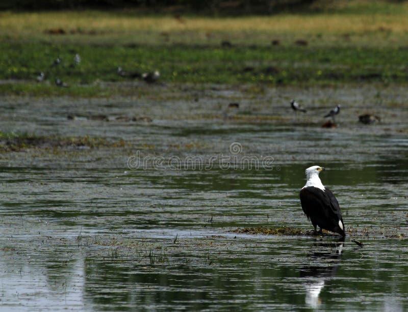 Aquila di pesci munita bianca fotografia stock libera da diritti