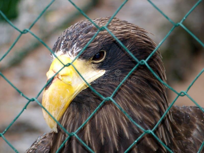 Aquila dietro le barre fotografia stock libera da diritti