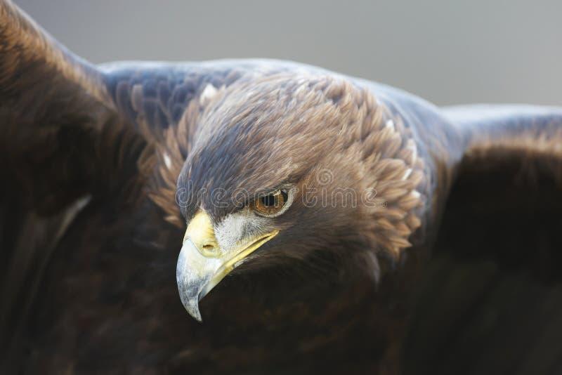 Aquila dorata immagine stock