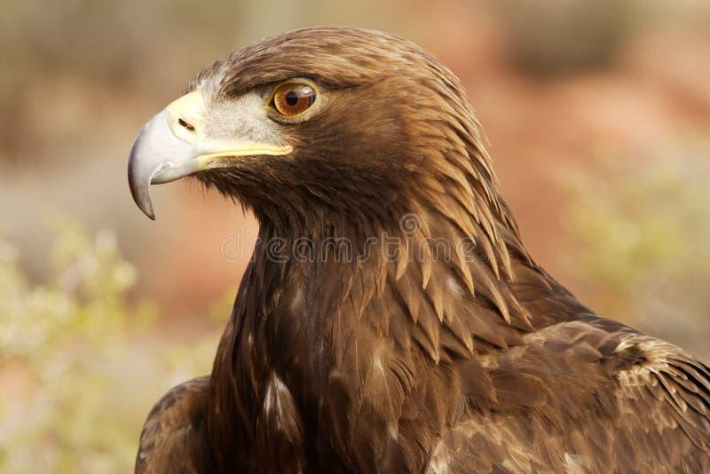 Aquila dorata fotografia stock