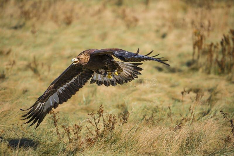 Aquila dorata (chrysaetos di aquila) fotografie stock