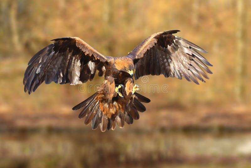 Aquila dorata (chrysaetos di aquila) fotografia stock