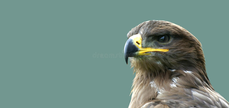 Aquila dorata sembrante fiera 2 fotografie stock libere da diritti