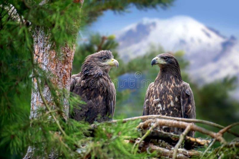 Aquila due che si siede su un pino immagine stock