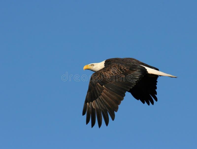 Aquila Durante Il Volo Immagine Stock Libera da Diritti