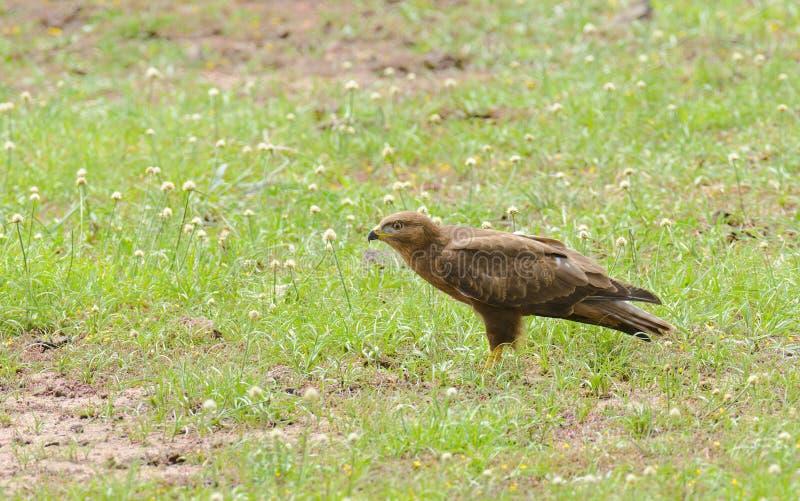 Aquila för gulbrun örn rapax fotografering för bildbyråer