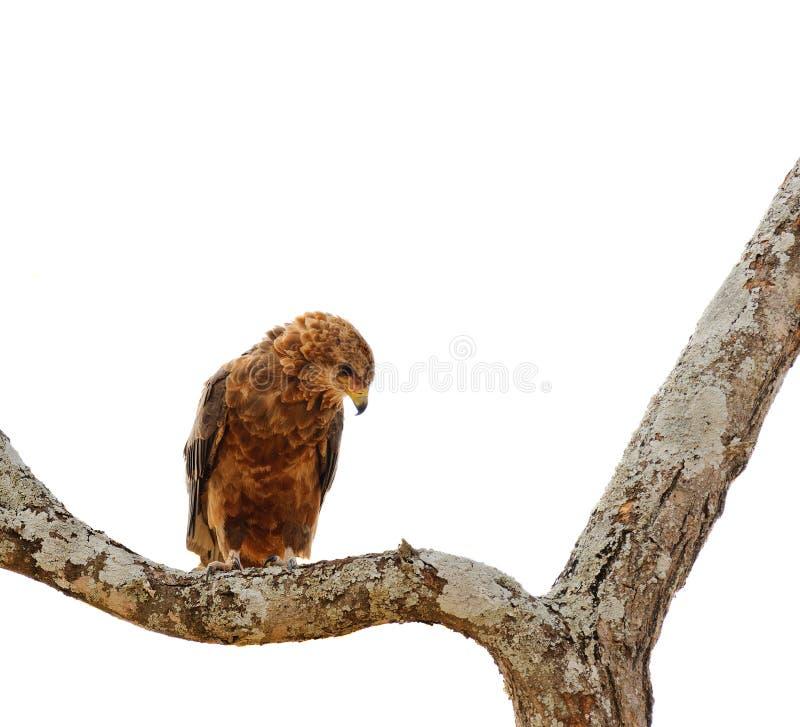 Aquila för gulbrun örn rapax i ett träd royaltyfria bilder