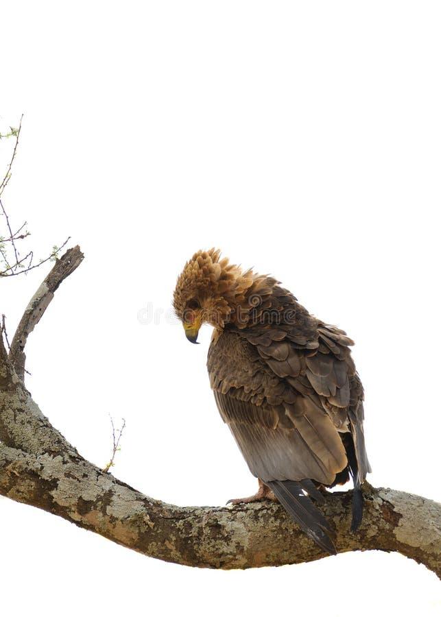 Aquila för gulbrun örn rapax i ett träd royaltyfri fotografi