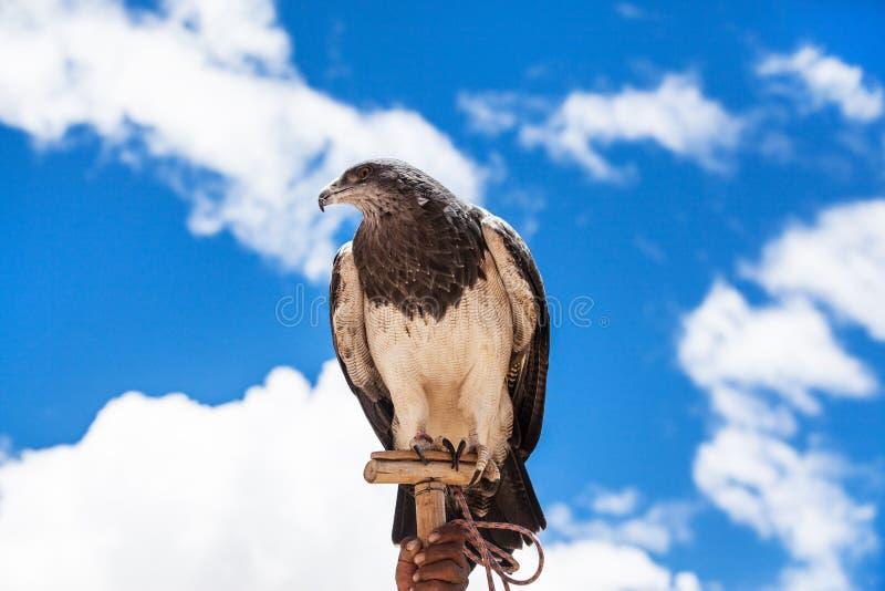 Aquila fiera fotografia stock