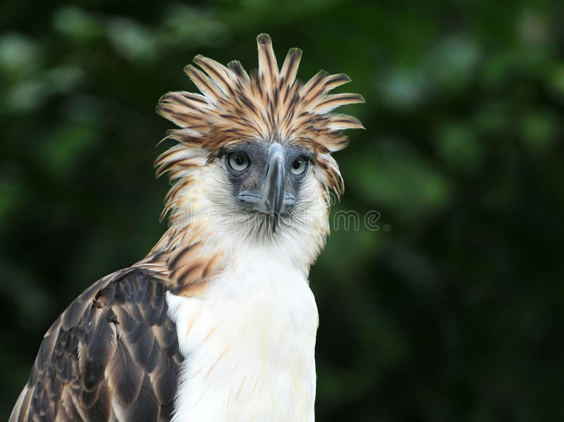 Aquila filippina fotografia stock