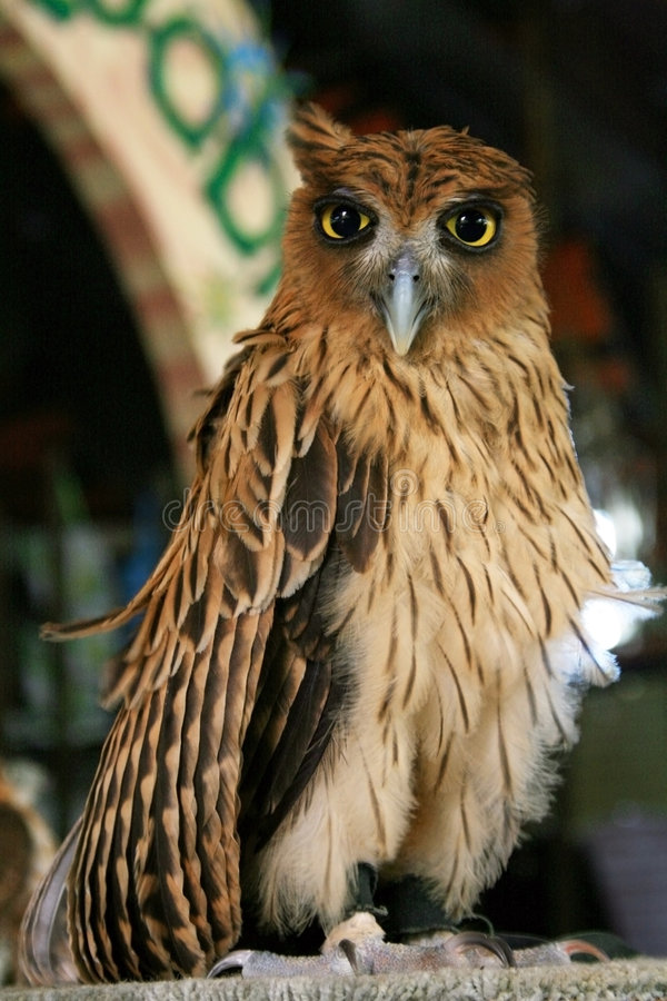 Aquila filippina immagine stock libera da diritti