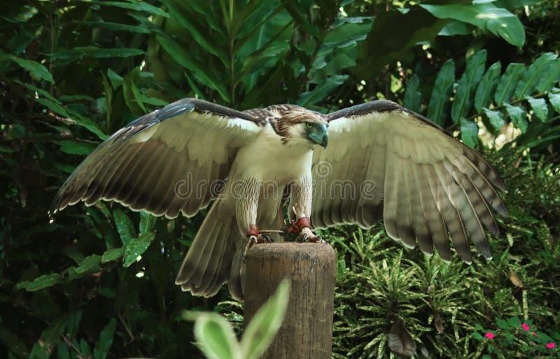 Aquila filippina fotografia stock libera da diritti