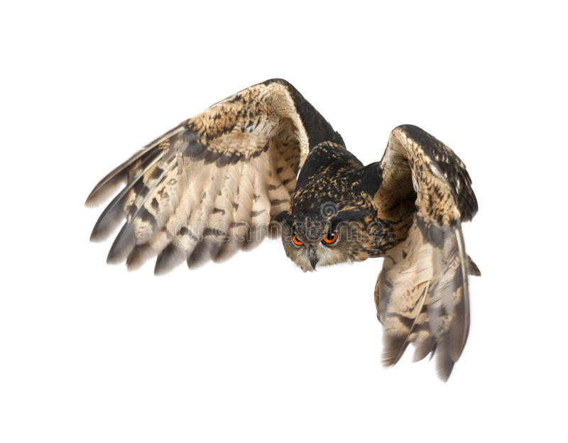 Aquila-Gufo euroasiatico, bubo del Bubo immagine stock