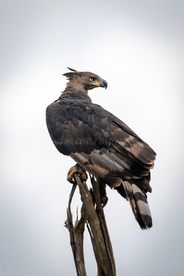 Aquila incoronata africana sul ceppo di albero morto fotografia stock libera da diritti