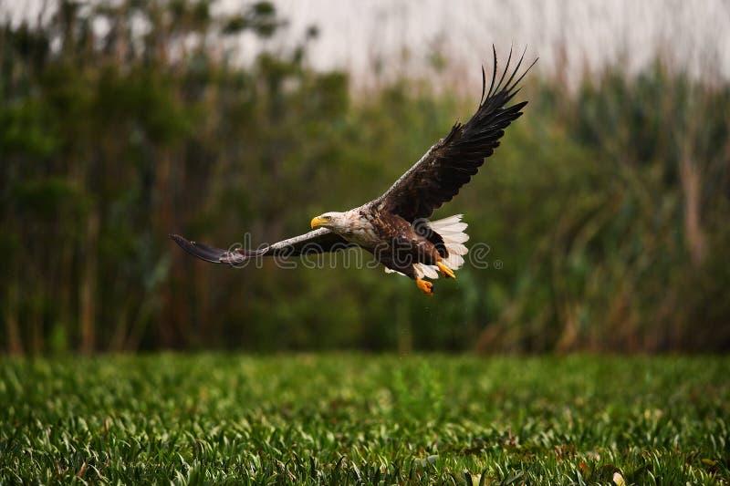Aquila munita bianco nel delta di Danubio fotografia stock libera da diritti