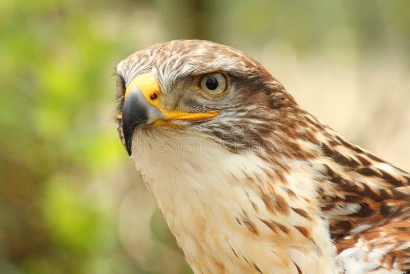 aquila najlepszy ptasi orła nipalensis zdobycza rapax step zdjęcie royalty free
