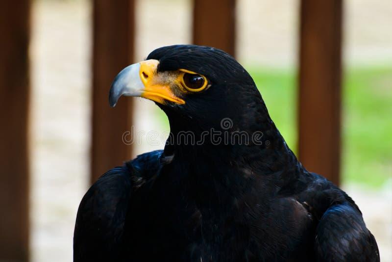 Aquila nera fotografia stock libera da diritti