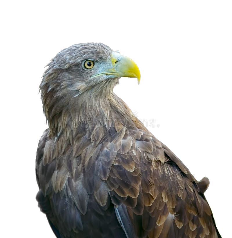 Aquila rapace & x28; rapax& x29 di L'Aquila; isolato su fondo bianco immagini stock libere da diritti