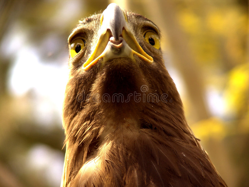 Aquila reale fotografia stock libera da diritti