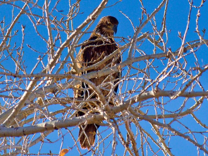 Aquila reale in albero immagini stock