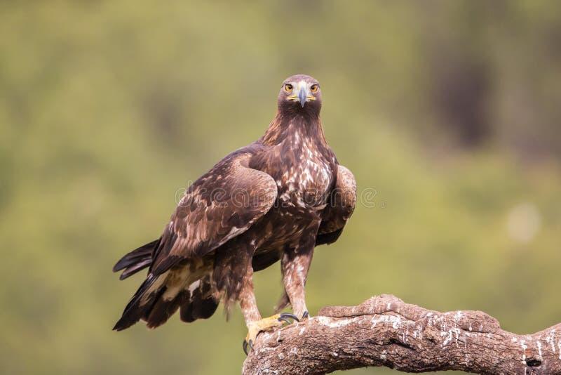 Aquila reale che esamina macchina fotografica ( L'Aquila chrysaetos) , l'Andalusia, Spagna fotografia stock