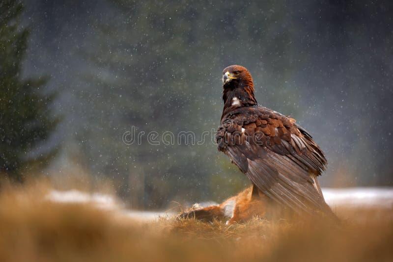 Aquila reale che si alimenta ad uccisione Fox rosso nella foresta durante la pioggia e le precipitazioni nevose Comportamento del fotografia stock libera da diritti