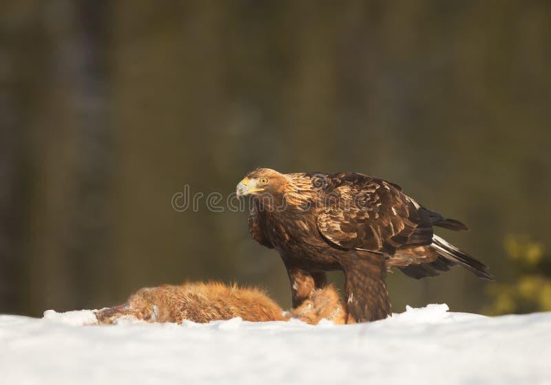 Aquila reale che si alimenta una volpe rossa morta fotografie stock libere da diritti