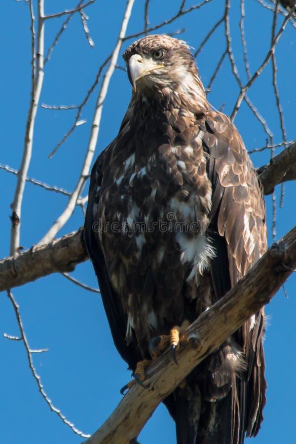 Aquila reale fiera in albero immagini stock libere da diritti