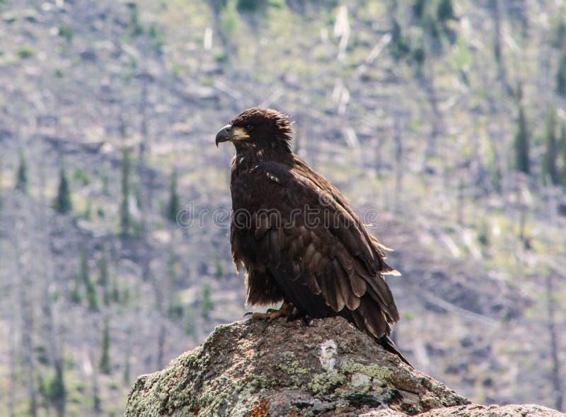 Aquila reale nel parco nazionale di Yellowstone immagine stock