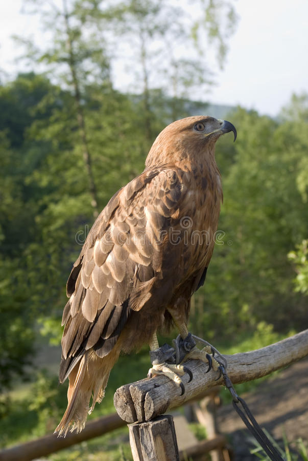 Aquila reale nella cattività fotografia stock libera da diritti