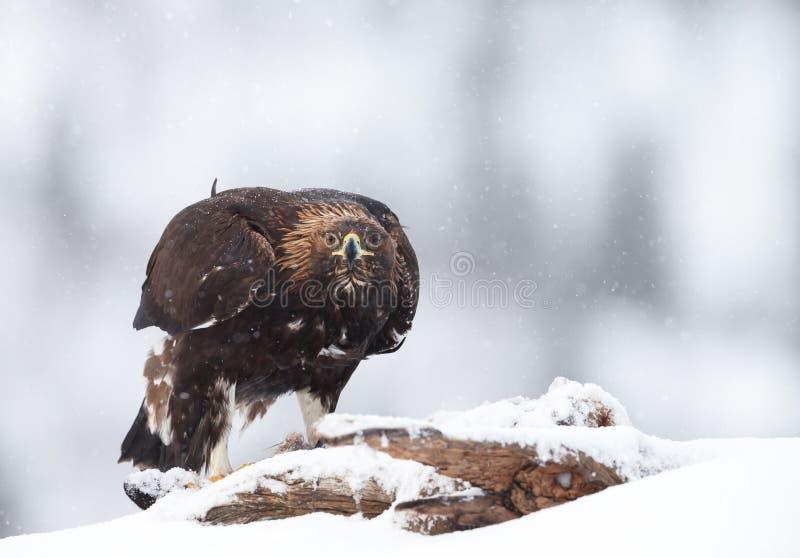 Aquila reale nella neve di caduta nell'inverno fotografia stock libera da diritti