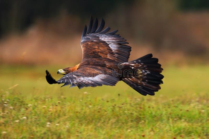 Aquila reale, volante sopra il prato di fioritura, rapace marrone con la grande apertura alare, Norvegia immagini stock