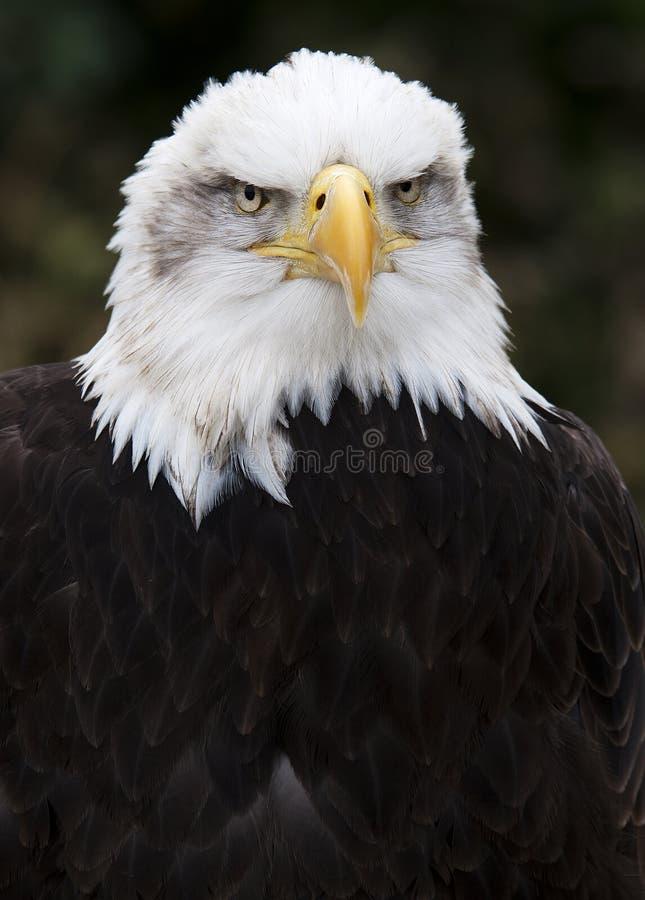 Aquila stampata in neretto fotografie stock