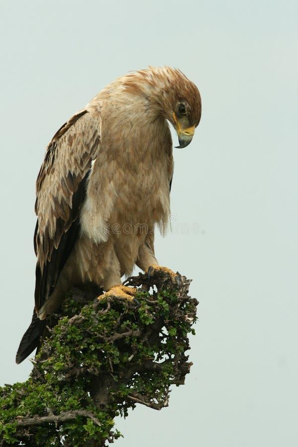 Aquila tawny acerba immagini stock libere da diritti