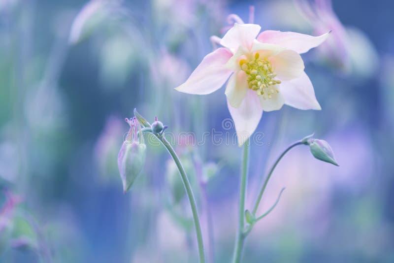 Aquilege delicado da flor em um fundo azul Foco macio seletivo fotos de stock royalty free