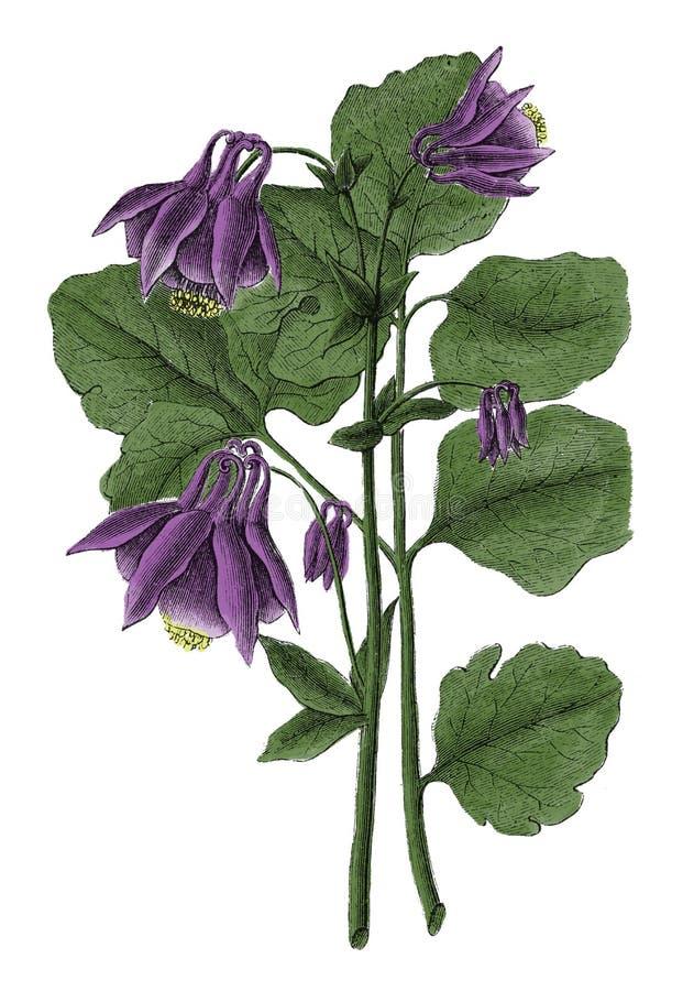 Aquilegia寻常的古色古香的植物的板刻 库存例证