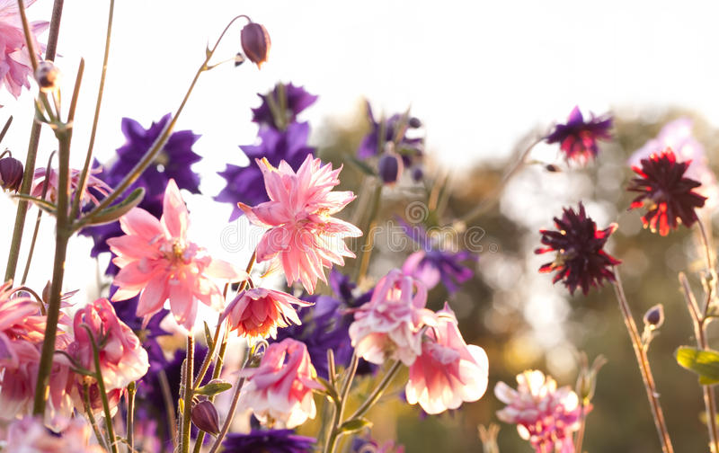 Aquilegia. 'Nora Barlow' (Clematis Flowered or Rose Columbine royalty free stock image