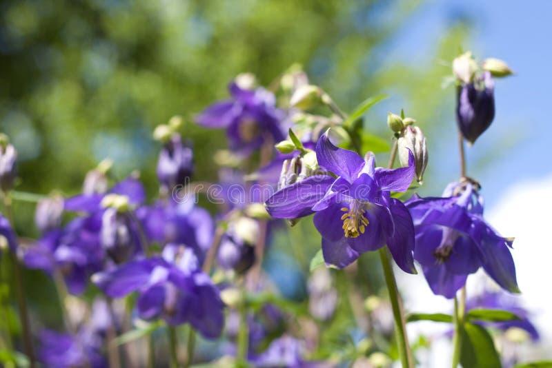 Aquilegia azul florece el primer imagen de archivo