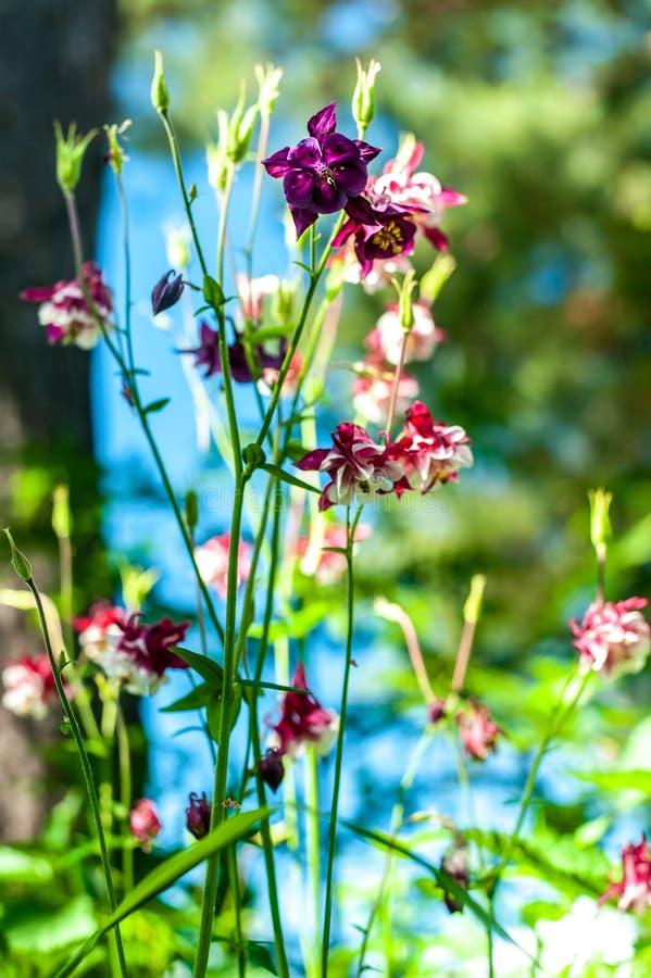 Aquilegia blommar den skarpa closeupen på oskarp grön trädgårdbakgrund, små klockablommor royaltyfria bilder