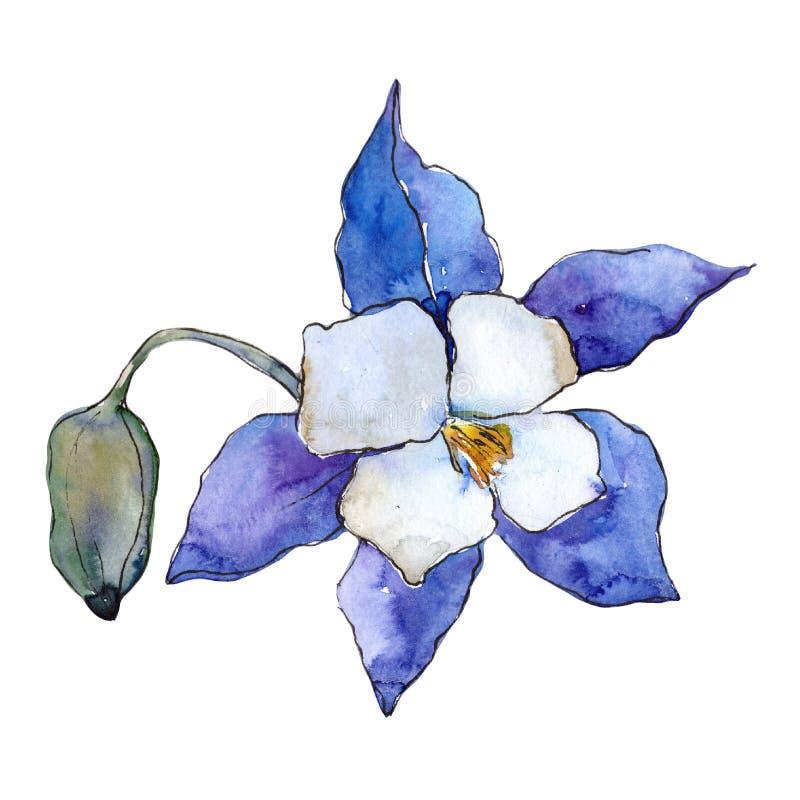 Aquilegia blu Fiore botanico floreale Wildflower selvatico della foglia della molla isolato illustrazione di stock