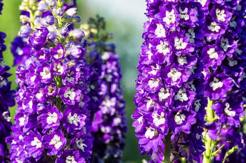Aquilegia-Blume im Sommergarten lizenzfreie stockbilder