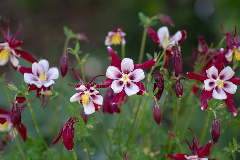 Aquilegia caerulea red white yellow flowering plant, beautiful ornamental herbaceous perennial flowers in bloom. Stars flower shape stock photo