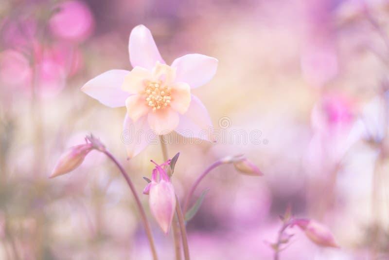Aquilegia delicado em um fundo cor-de-rosa Imagem delicada macia fotografia de stock