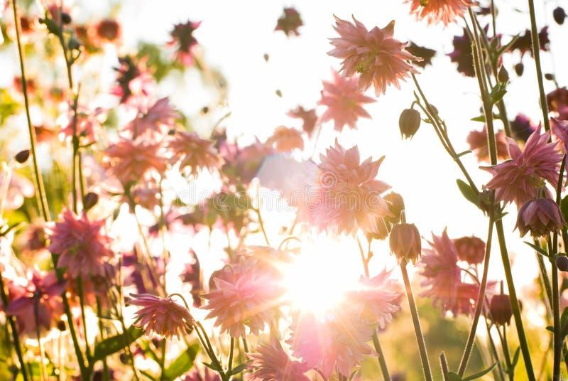 Aquilegia en el sol de la tarde imagen de archivo libre de regalías